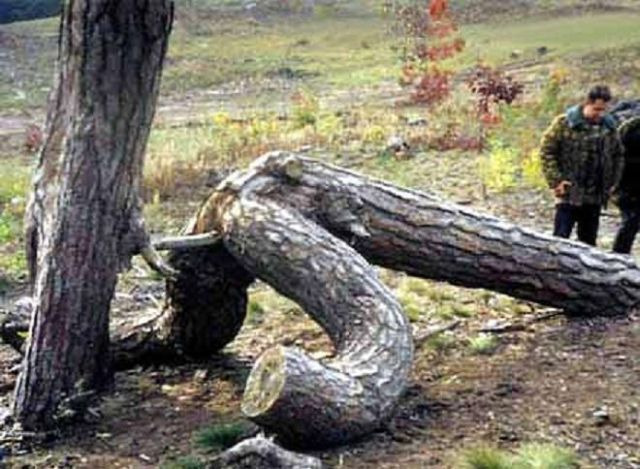 【※神秘※】「木」が自然にスケベ化してる画像貼ってく。 → 大自然スゴ杉ワロタwwwwwwwwwwww(画像あり)・25枚目